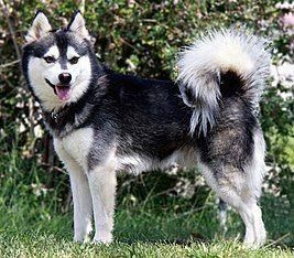 Aljašský klee kai alebo mini husky: charakteristika a popis plemena