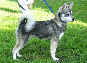 Aljašský klee-kai - malý spoločník a veselý člen rodiny