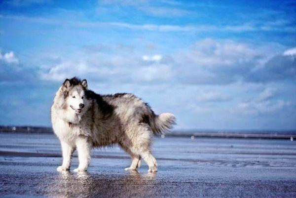 Собака аляскинський маламут - добродушна і віддана, її відрізняє незалежний характер