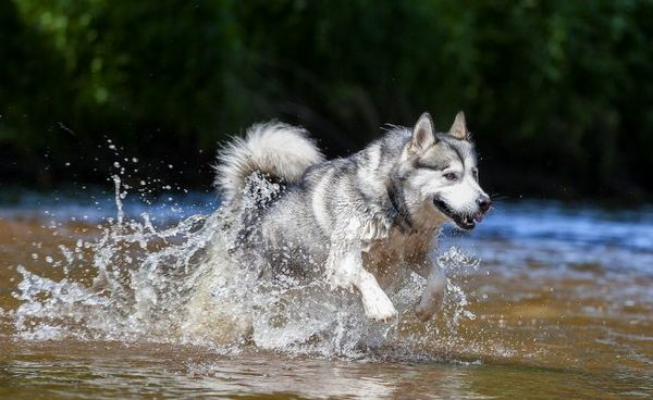 Аляска маламут - сильна і витривала порода. Собаки легко можуть тягнути упряжки з саньми, катати велосипедистів, носити рюкзаки в поході
