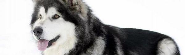 Aljašský malamut: popis plemena, starostlivosť a údržba