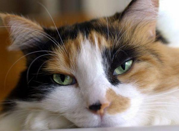 Alergická konjunktivitída u mačiek: vlastnosti choroby a liečebné metódy