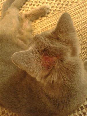 Як лікують алергію у кішок