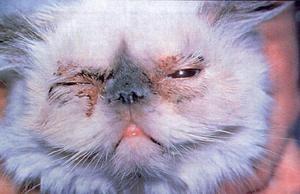 Чому у кішки алергія