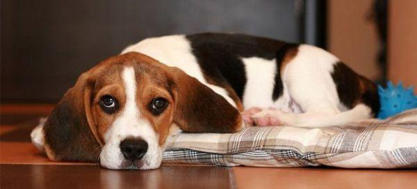 Часто причиною алергії у собак може бути неправильне харчування