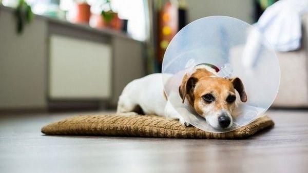Буває і сезонна алергія у собак. Симптоми і лікування в цьому випадку виявляються і визначаються строго індивідуально. Тому, якщо у сусідського песика від якоїсь трави опухли подушечки лап, це не означає, що тепер і вашого улюбленця треба вигулювати тільки в черевичках або пильовиках