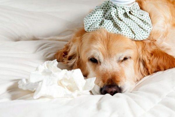 Алергія у собак часто супроводжується слабкістю і загальним нездужанням