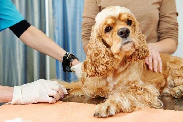Оскільки алергія є «поломкою» імунної системи, в якості профілактики ветеринар може призначити імуностимулятори, змінити режим харчування і відрегулювати фізичні навантаження собаки