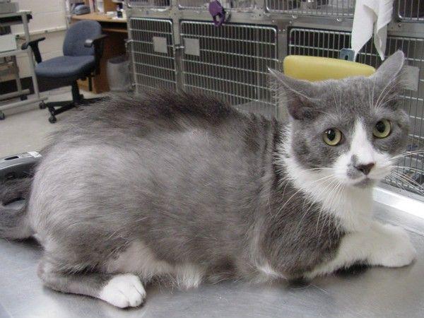 Alopécia u mačiek: tabuľka symptómov a liečby