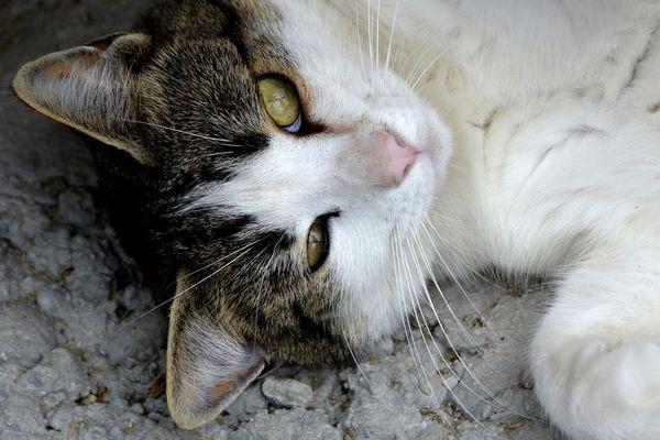 Кішка з білими грудьми