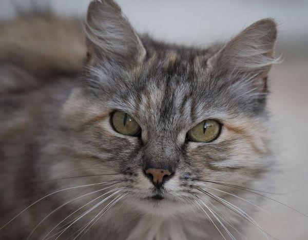 Пухнастий сірий кіт