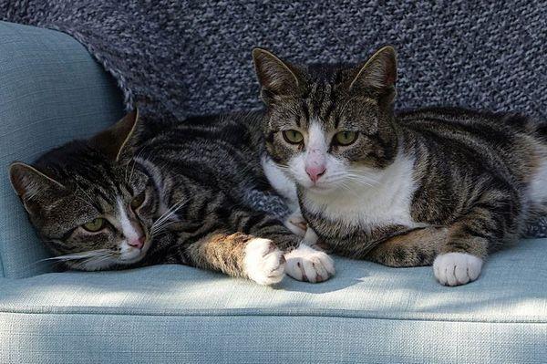 Два домашніх кота