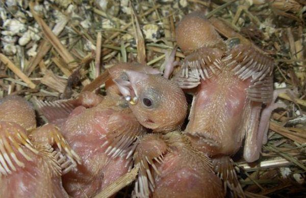 Finch mláďatá