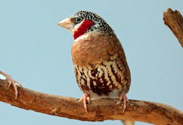 Finch červenohrdlý
