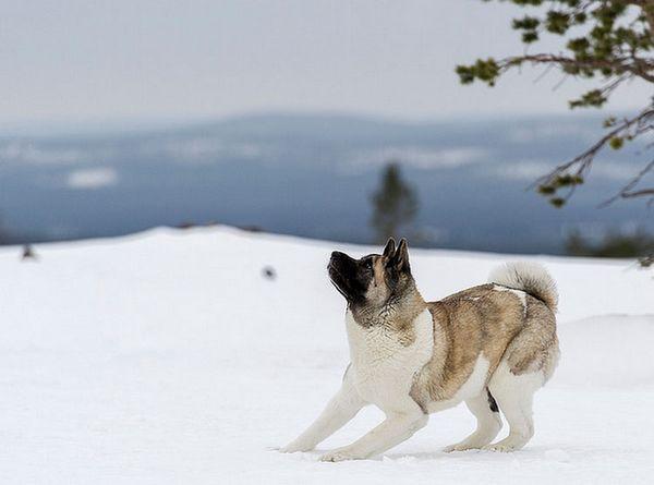 американська акіта в снігу