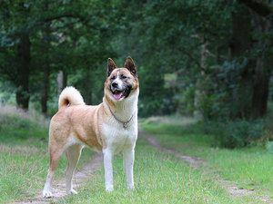 Особлива порода собаки американська акіта