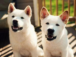 Характер собаки американська акіта