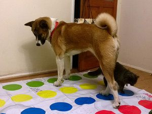 Медична характеристика собаки американська акіта