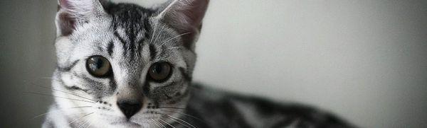 Americká krátkosrstá mačka: popis, farby, charakter