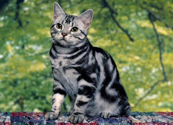 Americká krátkosrstá mačka