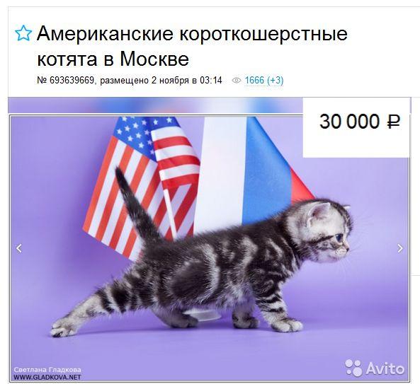 Американська короткошерста кішка ціни в Москві