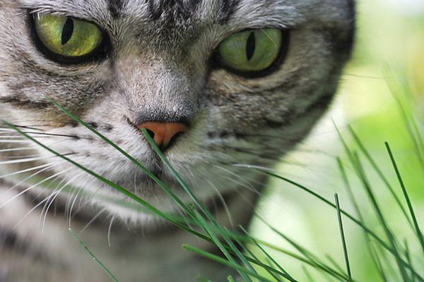 Американська короткошерста кішка на фото