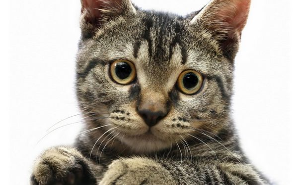 Американська жесткошерстная кішка