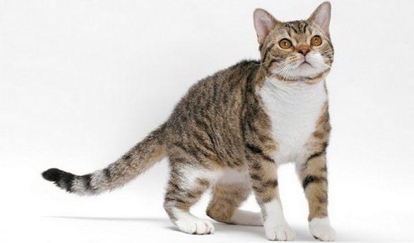 Стандарт американської жесткошерстной кішки