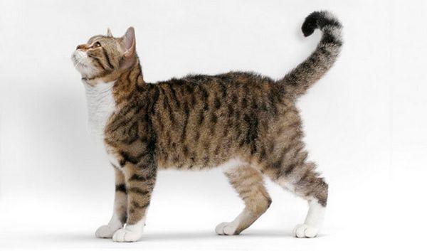 американська жесткошерстная кішка вид з боку