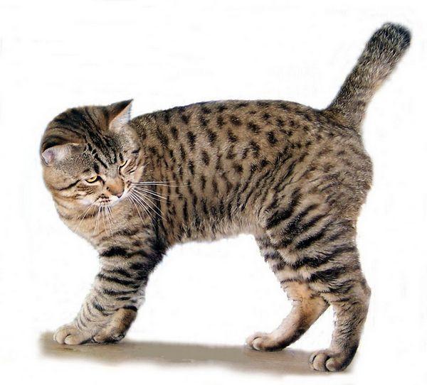 Americký bobtail: mačky a mačky