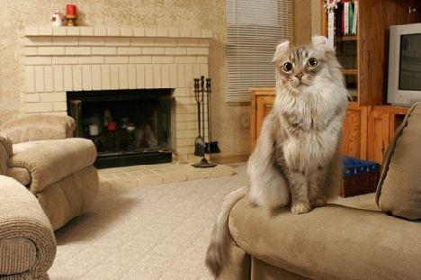 кішки породи Американський Керл