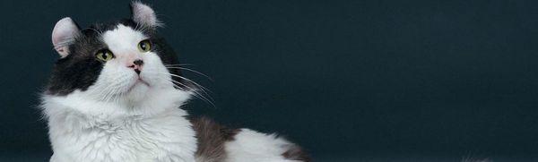 American curl: popis plemena, povahy a obsahu mačky