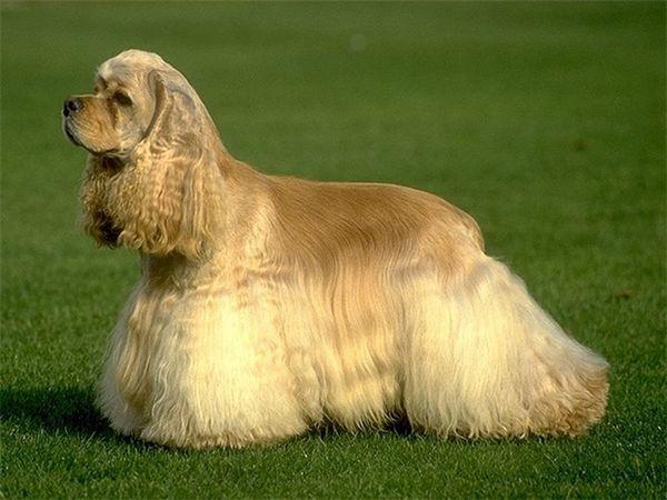 загальні характеристики собак породи Американський кокер-спанієль
