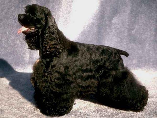фотографії собак породи Американський кокер-спанієль