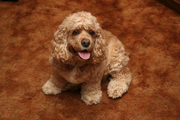 зовнішній вигляд собак породи Американський кокер-спанієль
