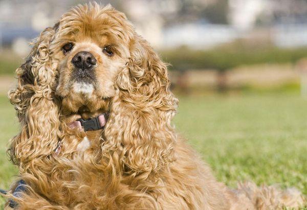 догляд за собаками породи Американський кокер-спанієль