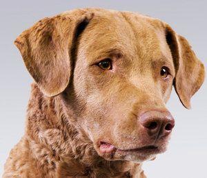 Americký zástupca, psie plemeno chesapeake bay retriever