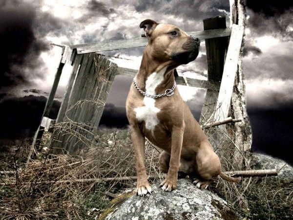 Americký stafordšírsky teriér (amstaff): vzhľad, rozdiely, povaha a pravidlá pre výber šteniatka