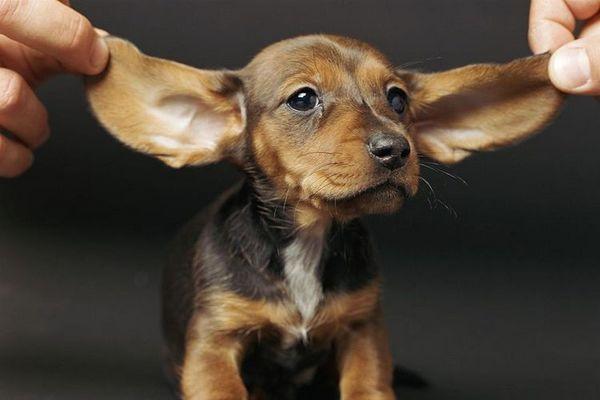 Щеня з великими вухами