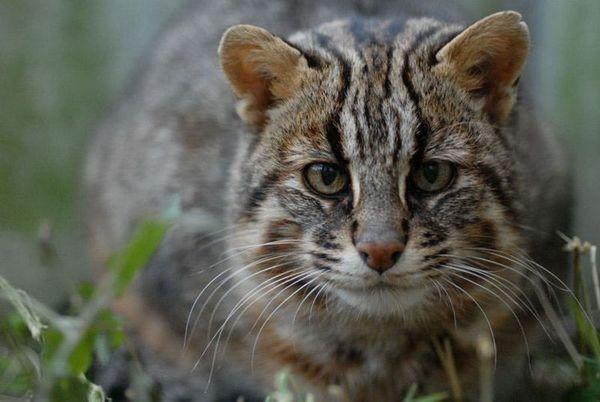 Amurská lesná mačka (leopardia mačka na ďalekom východe)
