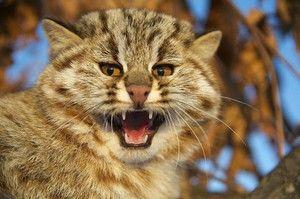 Амурський лісовий кіт - характеристика