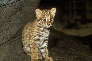 Підріс амурський лісовий кошеня