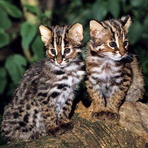 Симпатичні кошенята кішки Цусіми