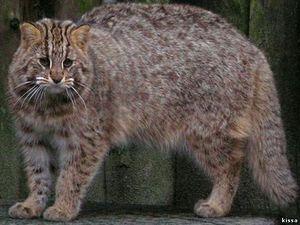Амурський лісовий кіт - забарвлення тварини