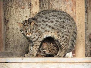 Кішка Цусіми і кошеня