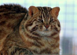 Дорослий ситий амурський лісовий кіт
