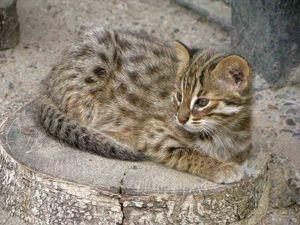 Амурський лісовий котик в домашніх умовах