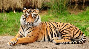 Amurský tiger - obrovská mačka zo stránok červenej knihy