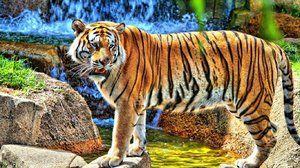 Амурський тигр - відмінні риси