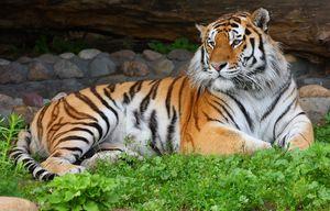 Амурський тигр відпочиває